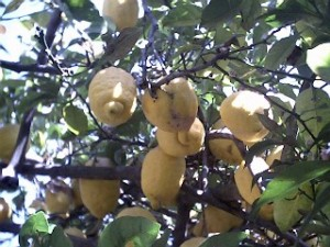 Citroner fra Procida